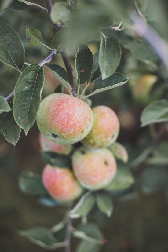 Apple Orchard in Georgia