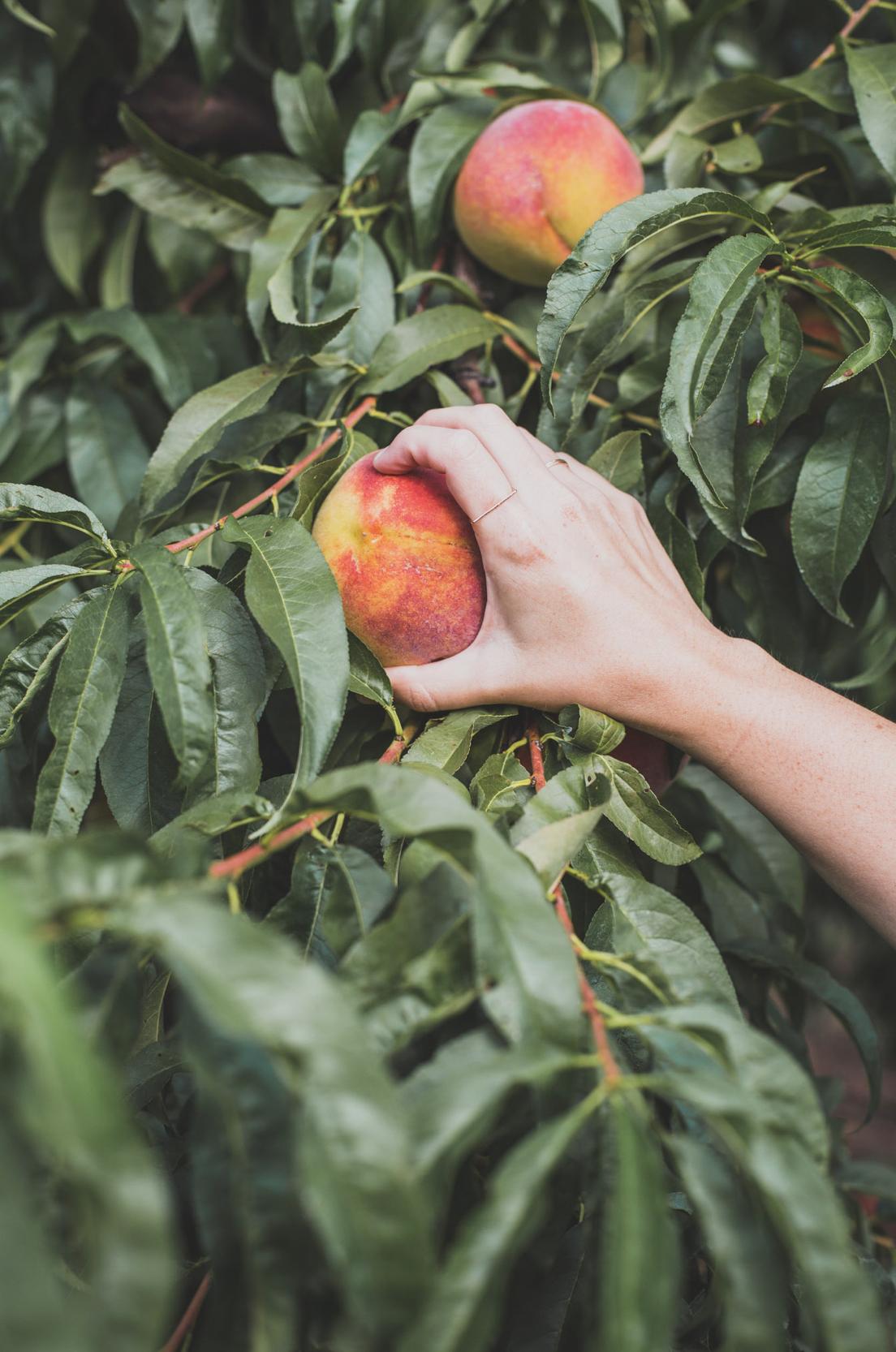 Woman's hand grabbing a fresh peach from orchard soon a farm.