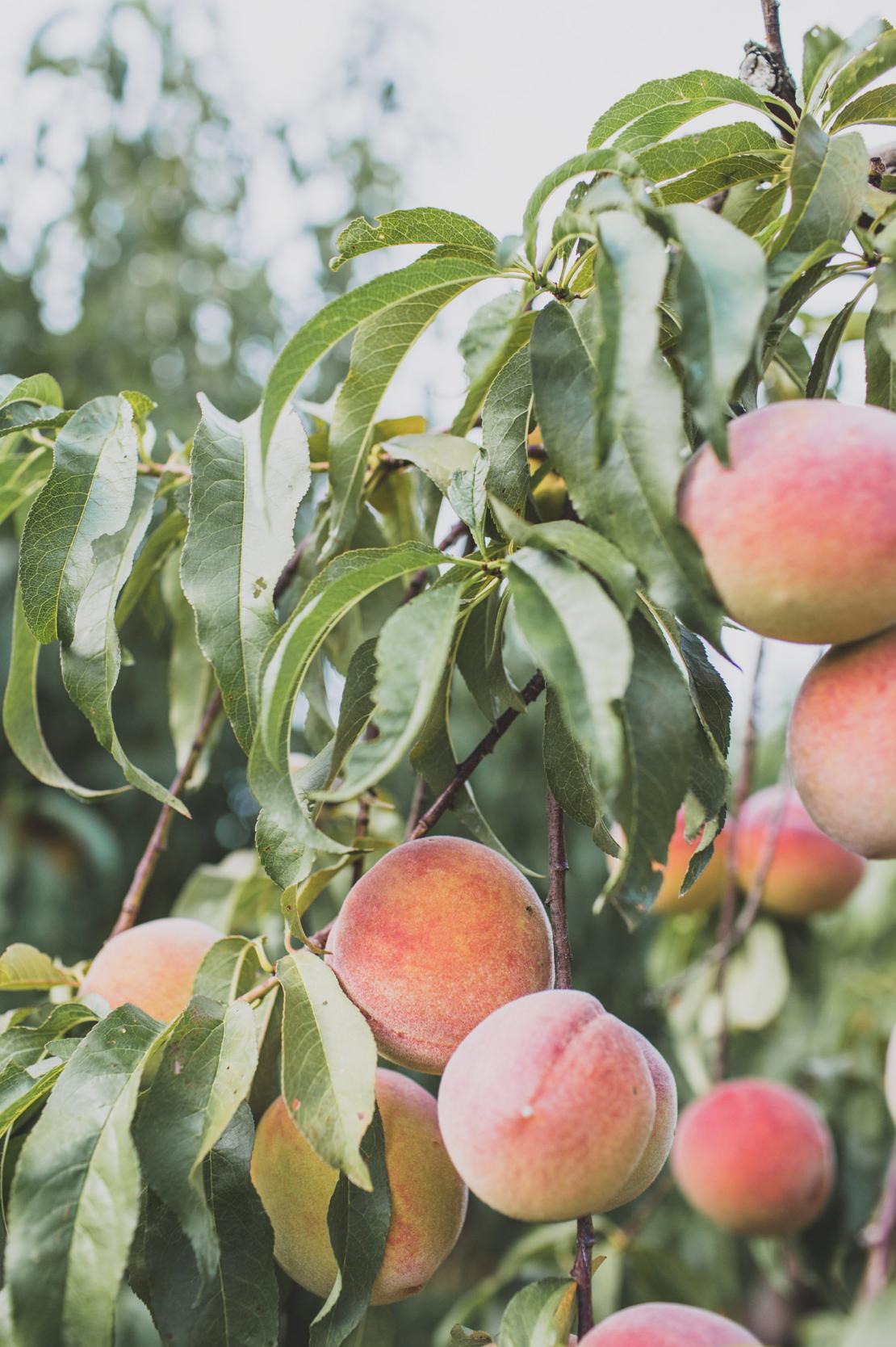 Detail photo of peach orchard on farmland.