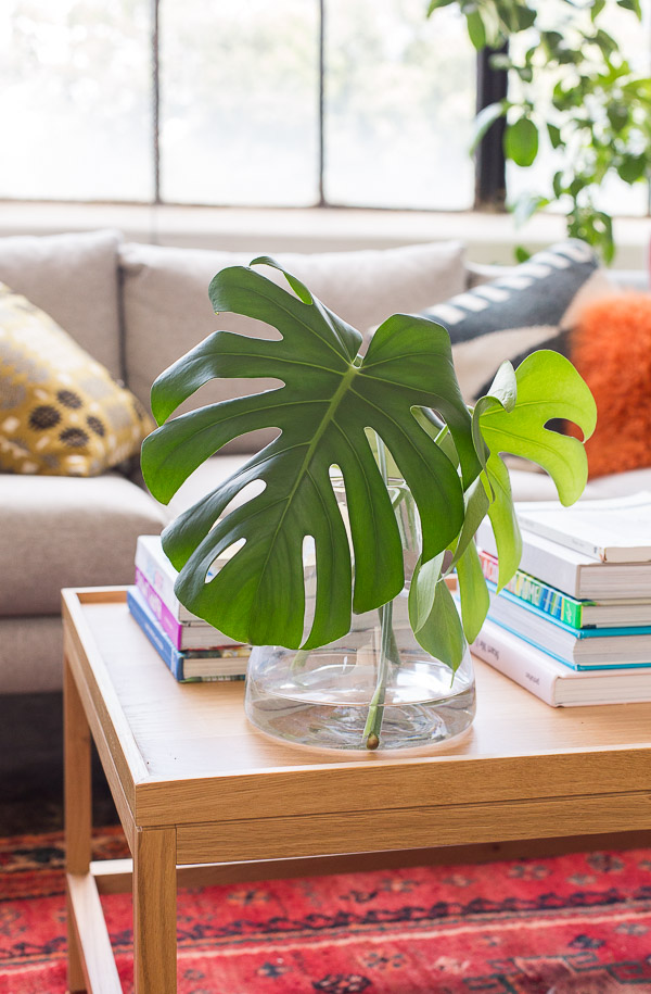 Monstera plant clippings