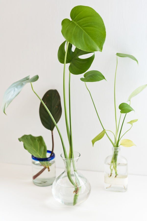 How to propagate plants in three easy steps! Click through for all the details. #houseplant #propagation #plants #philodendron