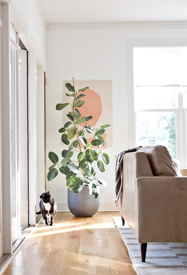 Minimal modern living room with large artwork and large ficus Audrey.